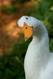 White Domestic Duck. A white domestic duck giving a hello Stock Image