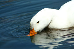 White domestic duck drinking in a pond Stock Photos