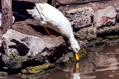 White domestic duck drinking water in lake. Cute white domestic duck drinking water in lake and reflected in the water. Bird in zoo park concept. Close up Royalty Free Stock Photos
