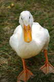 White domestic duck. On the grass Stock Photo