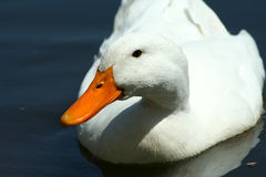 White domestic duck in a pond Royalty Free Stock Images
