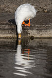 White domestic duck sipping water with reflection. Aesthetic nat. Ure image. Bird drinks water at riverside. River wildlife in an urban area Stock Photo