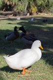 White domestic duck walking on grass at park Royalty Free Stock Image