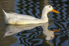 White domestic duck on water. Aesthetic nature image. Reflection and pattern make this a beautiful summer picture Stock Photos
