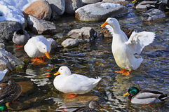 White domestic ducks with Mallards. A group of ducks enjoys the waters of Paint Creek on a brisk winter's day Stock Image