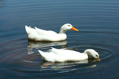 White domestic ducks in a pond Royalty Free Stock Photography