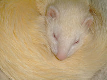 A white domestic ferret sleeping Stock Photos