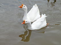 White domestic geese. Two white domestic geese searching for food Royalty Free Stock Photo