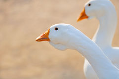 White Domestic Geese Close-Up Stock Photo