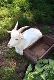 White domestic goat Royalty Free Stock Image
