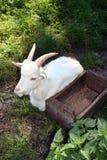White domestic goat royalty free stock image