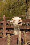 White domestic goat Royalty Free Stock Photo