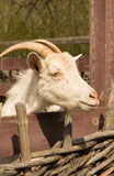 White domestic goat Royalty Free Stock Photography
