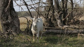 White domestic goat on the farm stock video