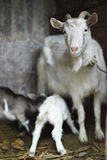 White domestic goat feeding goats Royalty Free Stock Image