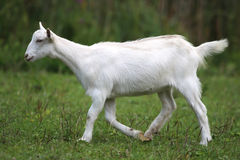 White domestic goat grazing on pasture summertime Stock Image