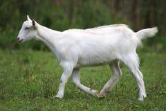 White domestic goat grazing on pasture summertime Stock Image