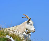 White domestic goat high in the hills stock image