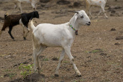White Domestic Goat of India Royalty Free Stock Photography
