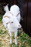 2 white domestic goats Royalty Free Stock Photo