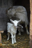 White domestic goat with kids Stock Image