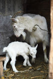 White domestic goat with kids Royalty Free Stock Photography