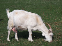 White domestic goat on meadow Royalty Free Stock Photos