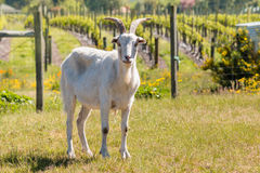 White domestic goat standing in paddock Royalty Free Stock Photo