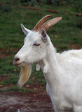 White domestic goat - symbol of coming year Stock Photos