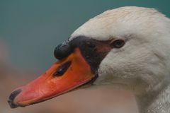 White domestic goose of beautiful plumage. Animal of many stories and fables stock photos