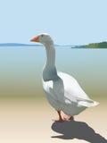 White domestic goose Royalty Free Stock Photos