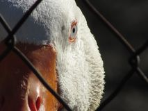 White domestic goose face stock photos