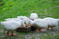 White Domestic goose Royalty Free Stock Image