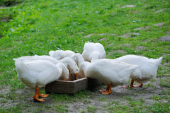 White Domestic goose Royalty Free Stock Images