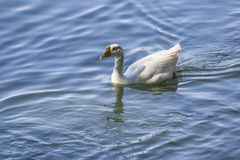 White Domestic Goose Stock Image