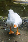 White domestic goose Stock Image