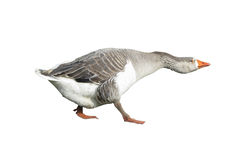 White domestic goose isolated over white Stock Image