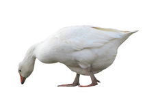 White domestic goose isolated over white Royalty Free Stock Image