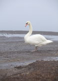White domestic goose in lake royalty free stock photography