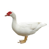 White domestic goose Royalty Free Stock Photography