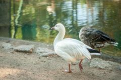 White  domestic goose on the poultry. Farm royalty free stock images