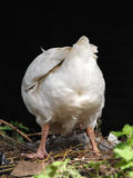 White Domestic Goose Showing Butt Stock Photos