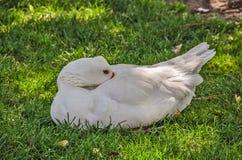 White Domestic Goose Stock Photos