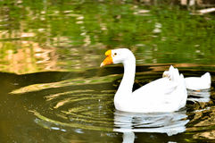 White domestic goose. Swimming in shallow water royalty free stock image