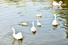 White domestic goose. Swimming in shallow water stock photos