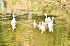 White domestic goose. Swimming in shallow water royalty free stock photography