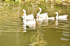 White domestic goose. Swimming in shallow water stock image