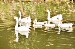 White domestic goose. Swimming in shallow water stock images
