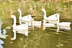 White domestic goose. Swimming in shallow water royalty free stock photo