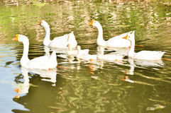 White domestic goose. Swimming in shallow water stock photo